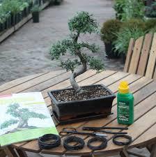 15 year old bonsai tree premium gift set