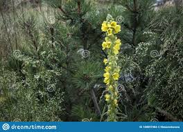 Artemisia Landscape Design The Yellow Field Plant On A Background Of Cedar And Grass In