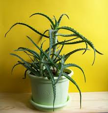 a kind of leaf succulents many varieties have various medicinal uses but aloes are the plants toxic to dogs but only when they ingest it