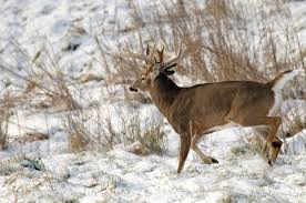 Moon Phases Dont Affect The Deer Rut Grand View Outdoors