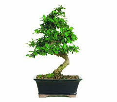 office bonsai. Brightcoloredfukein Office Bonsai Y