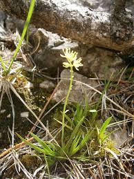 File:Tofieldia calyculata RHu 001.jpg - Wikipedia