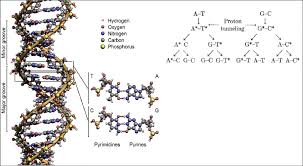 5 Hydrogen Bonding In Dna Base Pairs The Inset Shows The