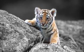 Fullscreen Hd Wallpapers - Baby Tigers ...