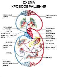 Большой и малый круги кровообращения Движение крови по  Большой и малый круги кровообращения Движение крови по кровеносным сосудам