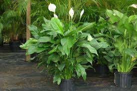 are lilies toxic for dogs