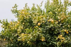 16 mon citrus fruit trees