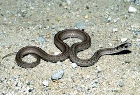 Black Snake With Diamond Pattern New Inspiration Ideas
