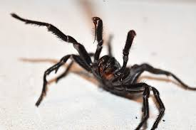 Funnel web Australian Deadliest Spider Geographic The 's World axOAfIO