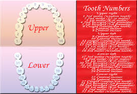 Tooth Chart 1 32 What Is The Tooth Number Chart Tooth Number Chart