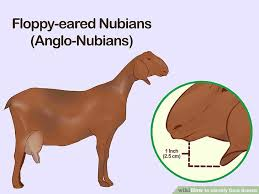 Nubian Goat Color Chart How To Identify Goat Breeds 10 Steps With Pictures Wikihow