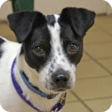 jack russell terrier border collie mix. Wonderful Terrier In Jack Russell Terrier Border Collie Mix L