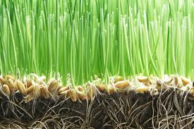 Grass Seed Germination Chart Grass Seed Germination Rates For Planting