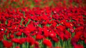 armistice centenary volunteers 62 000 hand knitted poppies to mark remembrance