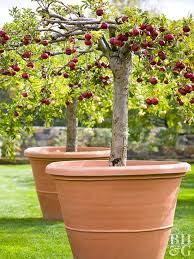 apple tree 1 add soil make sure drainage holes are clear in a pot at least 18 inches wide add commercial planting mix with a ph of about 6 5