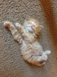 Image result for kitten on carpet