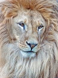 Lion By Sejmenovicmevludin Lion Familly Zvířata