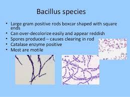 Gram Positive Bacilli Bacteriology