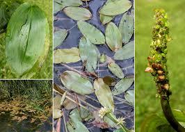 Potamogeton natans L. - Portale sulla flora del basso corso del ...