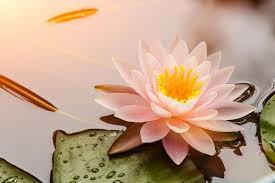 Bildergebnis für lotusblüte
