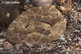 Snake With Diamond Pattern Mesmerizing Western Diamondbacked Rattlesnake Crotalus Atrox