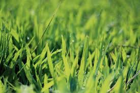 grass blade close up. Closeup Photography Of Green Grasses With Water Droplets Grass Blade Close Up