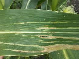 Corn Flea Beetle Stewarts Disease Of Corn Crop Protection Network