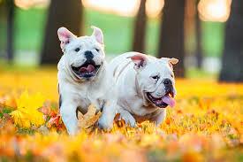 American Bulldog Height Chart Bulldog Dog Breed Information
