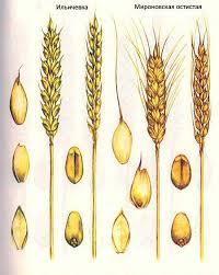 Селекция короткостебельных сортов озимой пшеницы ru  Короткостебельные сорта озимой пшеницы Ильичевка Мироновская остистая