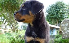 rottweiler dog puppy. follow these tips to choose a healthy, friendly pup. rottweiler dog puppy