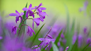 1920x1080 purple flowers desktop pc and