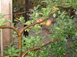 Espalier Fruit Trees  Create A Home Orchard With A Small Fruit Tree Cordons