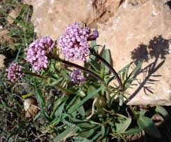 Valerianaceae - Wikipedia