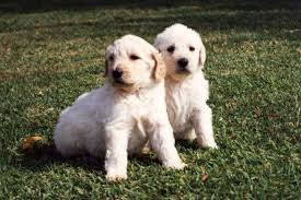 The first ever labradoodle wasn't a designer dog, he was a guide dog - ABC News