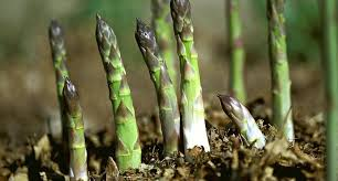 Image result for asparagus growing