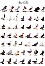 Roller Pigeon Color Chart 28 Best Pigeon Images In 2019 Pigeon Pigeon Breeds