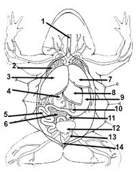 frog anatomy coloring ss frog dissection coloring on crayfish dissection worksheet
