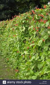 Plants For Kitchen Garden Climbing Runner Beans Plants Growing In Supported Rows In An