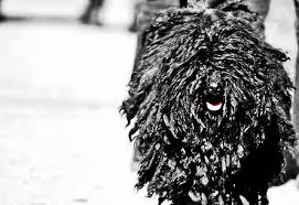 6 dog breeds with dreadlocks and how that even works