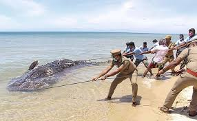 whale shark washes up on tamil nadu beach
