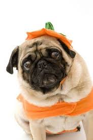 pug in pumpkin costume. Perfect Costume Pug With Scary Look In Pumpkin Costume Stock Photo  3630227 And In N