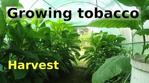 Image result for growing tobacco as a cash crop.