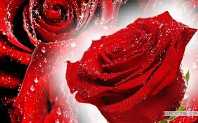 flower wall paper download free pictures of red flowers rr collections