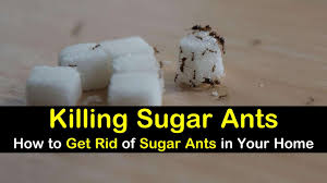 Killing Sugar Ants How To Get Rid Of Sugar Ants In Your Home