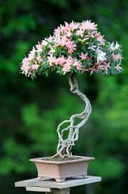 bonsai tree buy bonsai care far eastern culture bought bonsai tree