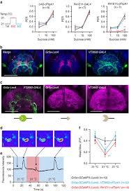 mechanosensory neurons control sweet sensing in drosophila figure 4