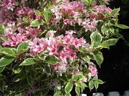 Shrub With PurplishPink Flowers And Glossy Leaves  ClipPix ETC Shrub With Pink Flowers