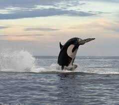 killer whales eating dolphins. Killer Whale Eating Dolphin In Whales Dolphins