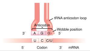 Trna Anticodon Chart