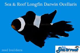 black phantom clownfish.  Clownfish Longfin Clownfish Discovered Among Sea U0026 Reefu0027s Black Darwin Ocellaris For Black Phantom Clownfish N